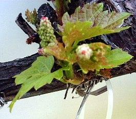 O broto ds uvas na Primavera