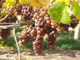 """Uva Pinot Gris e sua cor característica - boa também para vinhos de """"Vendenge tardive"""""""