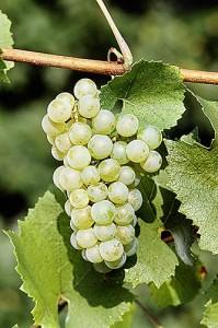 Uvas Chardonnay